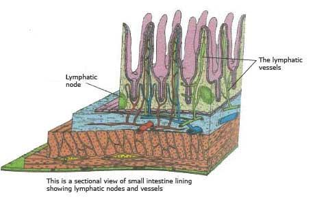 horse-intestinal-lining